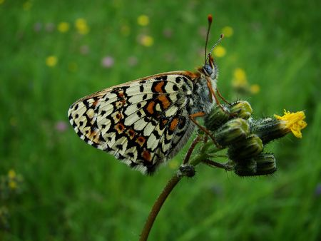 nymphalidae: Butterfly on a yellow flower                                Stock Photo