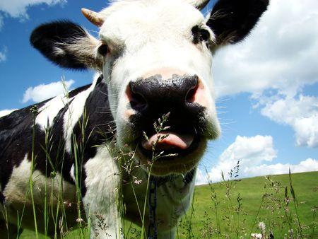 k�lber: Eine schwarz-wei�e Kuh-Milch mit einem strahlend blauen Himmel in den Hintergrund Lizenzfreie Bilder