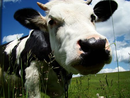 fresian: A black and white milk cow with a bright blue sky at the background