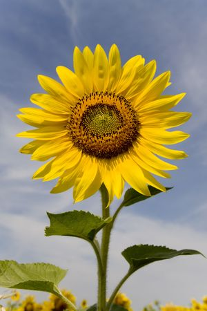 Sunny sunflowers against the sky in hot summer Stock Photo - 7502345