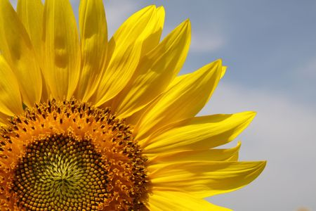 Sunny sunflowers against the sky in hot summer Stock Photo - 7502353