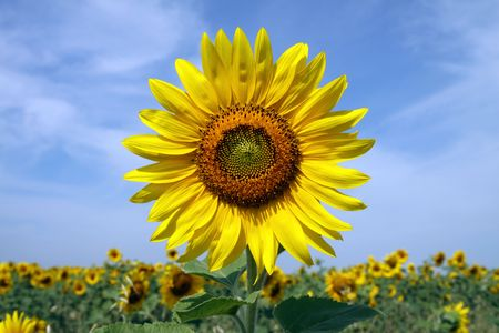 Sunny sunflowers against the sky in hot summer Stock Photo - 7716207