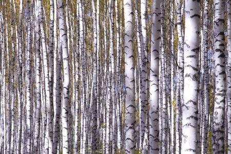 Autumn landscape forest yellow aspen trees birches photo