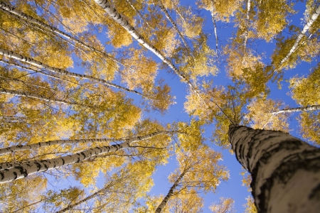 Autumn landscape forest yellow aspen trees birches photo