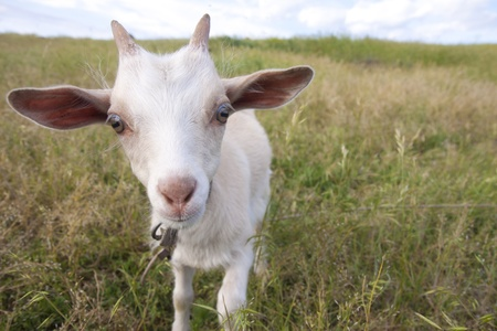 Little kid goat on a green pasture photo