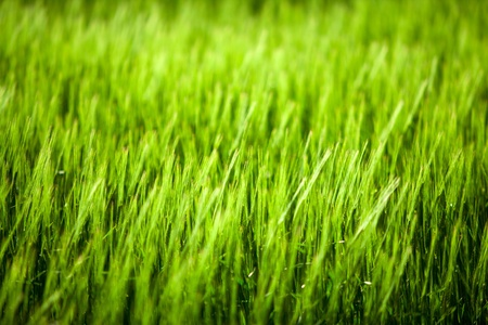 Close up of green corn field with focus point Stock Photo - 13581608