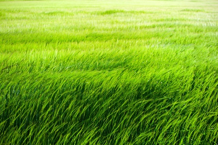 ecological: Green grass field blowing in the wind
