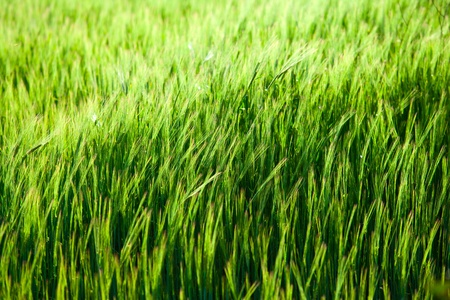 Close up of green corn field  with focus point  Stock Photo - 13581635
