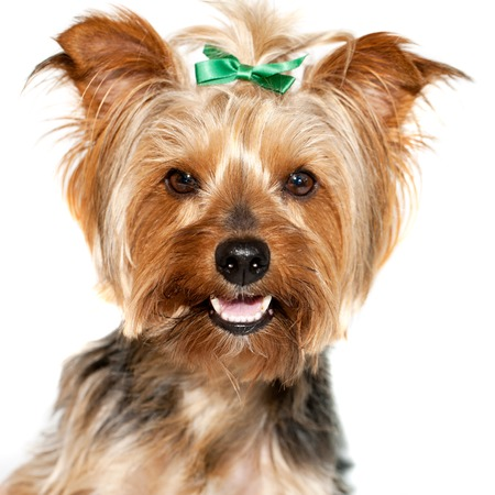 yorky: Close up face shot of cute yorkshire dog  Stock Photo