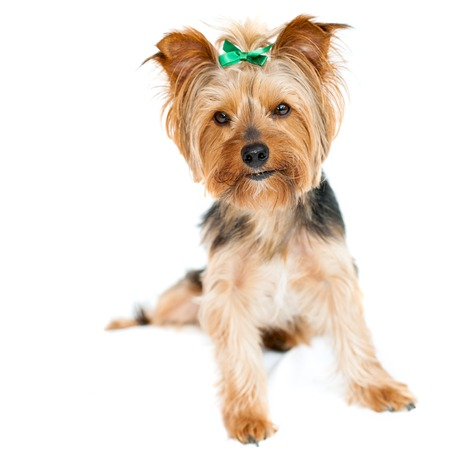 yorky: Close up of cute yorkshire male dog Isolated on white background