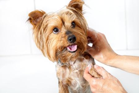 perro asustado: Primer plano de las manos femeninas que lavan el pequeño perro yorkshire