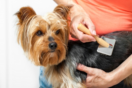 groomer: Close up of female hands grooming yorkshire dog in salon  Stock Photo
