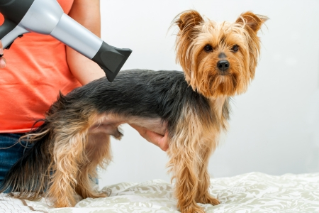 Female hands using hair dryer on yorkshire dog in salon