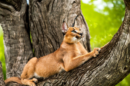cat stretching: Close up of wild caracal cat stretching in tree