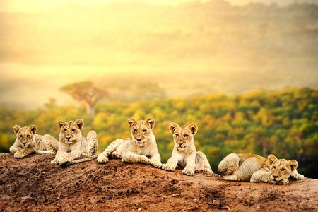 LEONES: Primer plano de cachorros de león que pone juntos esperando en la madre