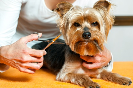 yorky: Close up of female hand with grooming scissors trimming dogs hair. Stock Photo
