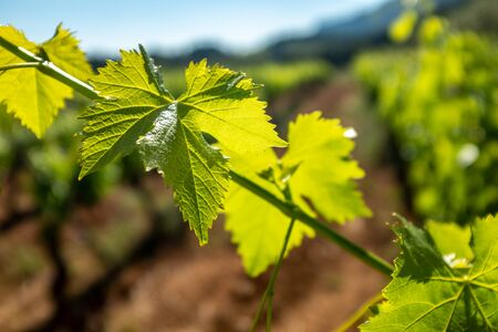 Extreme close up of grapevine leaves in vineyard. Sunbeam illuminating leaves with backlight.