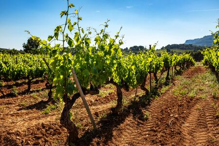 Close up of healthy green vineyard growing in organic soil against blue sky. Stock Photo