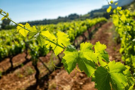 Close up detail of  grapevine leaves with backlight against out of focus vineyard in background. Stock Photo