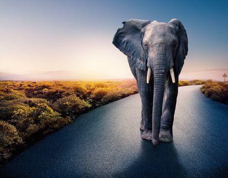 Conceptual photograph of huge African male elephant standing in middle of black asphalt road. Surreal sunset landscape in background.