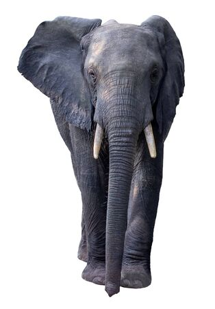 Full length front view portrait of African Elephant isolated on white background.
