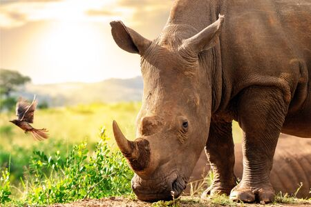 Close up head shot of huge African white rhino in grassland. Sunset and oxpecker bird in background.