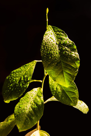 dewy: Dewy green plant small citrus Stock Photo