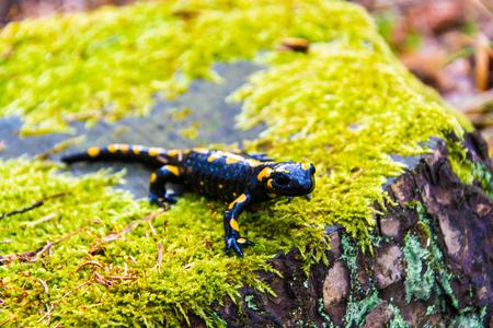animals amphibious: Salamander on tree stump in the woods