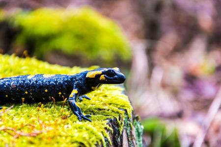 salamandra: Salamandra en toc�n de �rbol en el bosque