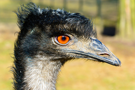 flightless: Portrait of emu. The ostrich is looking into the lens. Dromaius novaehollandiae. Detailed photo ostrich head. Large orange eye. Mini Zoo in Castolovice. Stock Photo