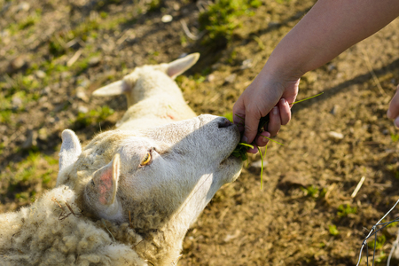 Feeding a sheep from his hand. Domesticated sheep on pasture at the sunset. Happy sheep in the paddock. Sheep ready for shearing wool. Stock Photo