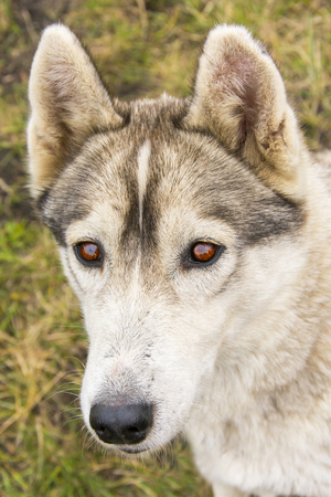 Portrait of Siberian Husky. Evil eye Siberian husky. Dog best friend of man. Working dog breed. Purebred dog