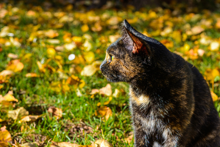 The stalking cat is waiting for the prey in autumn leaves. An old black red cat. Hungry cat.