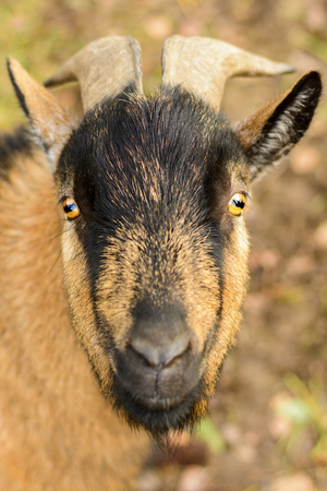 Portrait of a brown goat with big horns Stock Photo