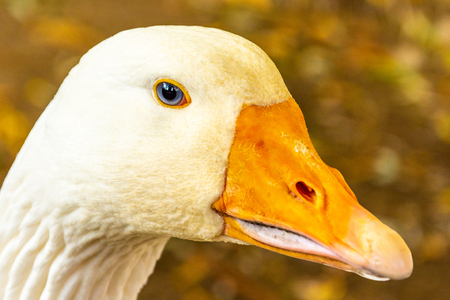 Portrait of a white geese with an orange beak. Breeding poultry for meat. Goose as a security guard. Anser anser domesticus Banco de Imagens