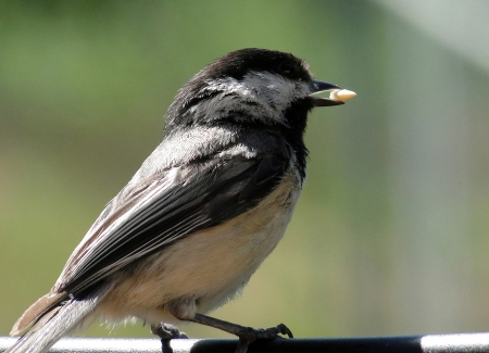capped: Black Capped Chickadee eating seed Stock Photo
