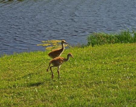 Baby Sandhill Cranes walking along golf course    photo