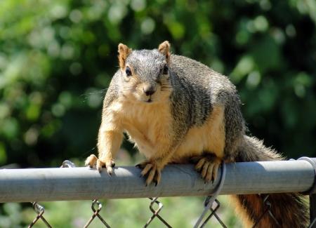 bushy: Grey Squirrel sitting on fence Stock Photo