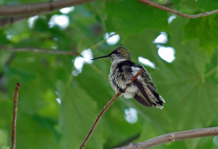 Hummingbird perched in maple tree photo