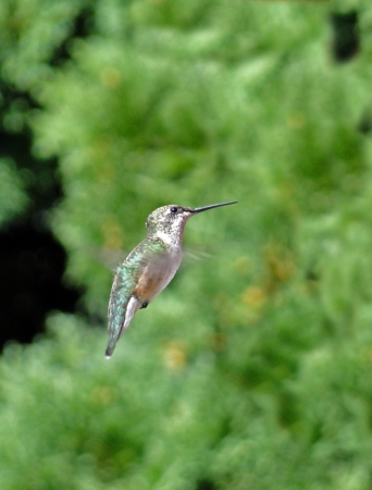 ruby throated: Ruby Throated Humming bird in flight