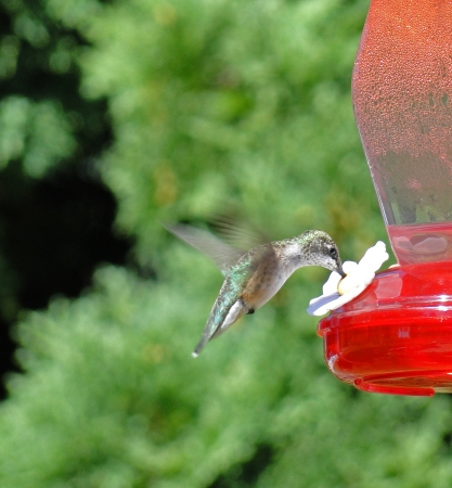 ruby throated: Ruby Throated Hummingbird eating Stock Photo