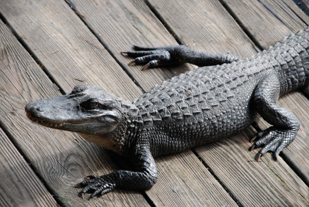 Angry alligator on a wooden dock
