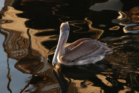 Closeup of pelican swimming with reflections in dark water
