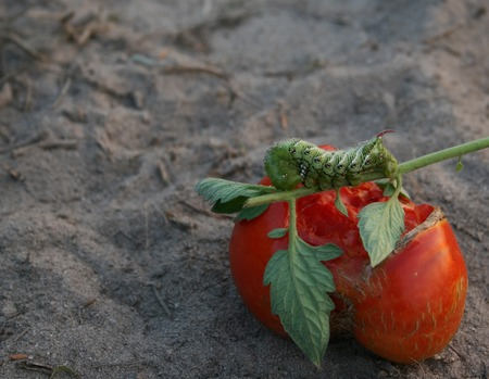 Een hoorn worm op een tomaat