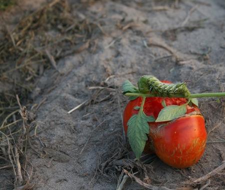 A horn worm on a tomato Reklamní fotografie