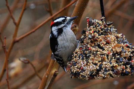 Male Downy Woodpecker On Birdfeeder Stock Photo