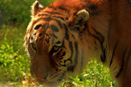 Close-Up Of Orange And Black Siberian Tiger photo