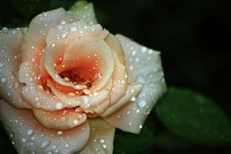goutte de pluie: Peach rose p�le couvert de gouttes de pluie Banque d'images