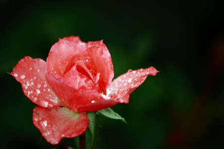 Delicate Rose With Raindrops