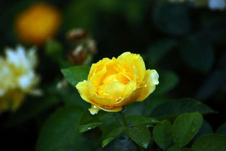 Yellow Rose Wet With Rain Stock Photo - 10302485